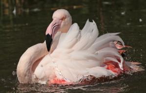 животные, фламинго, перья, окрас, птица