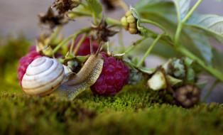 животные, улитки, ягоды, ветка, улитка, макро, мох, малина