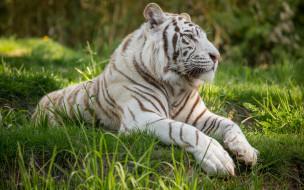 животные, тигры, профиль, растения, отдых
