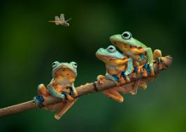 животные, лягушки, троица, ветка, стрекоза, трио