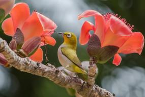 животные, белоглазки, цветы, ветка, белоглазка, птичка