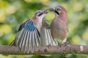 животные, сойки, пара, ветка, птицы, боке, природа