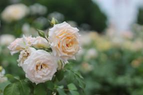 цветы, розы, цветение, лепестки, роза, цвет