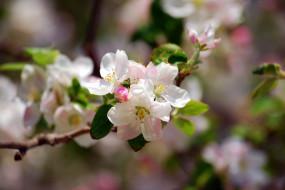 цветы, цветущие деревья ,  кустарники, цветение, дерево, ветка