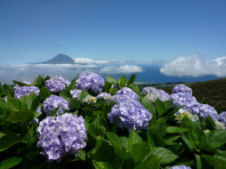 цветы, гортензия, пейзаж, океан, азорские, острова, природа, небо, облака