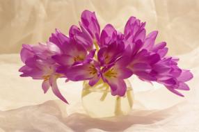 цветы, крокусы, сиреневый, цвет, красота, множество, осень, сентябрь, растения, луковичные, букетик, радость, природа, композиция, флора, безвременник