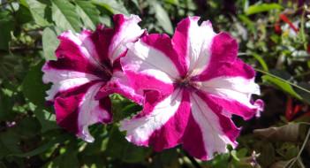 цветы, петунии,  калибрахоа, полосатые