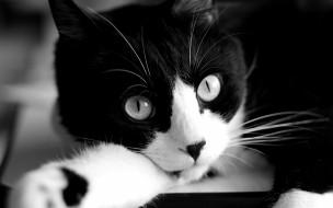 животные, коты, черно-белый, взгляд, мордочка, кот