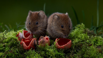 животные, крысы,  мыши, мышки