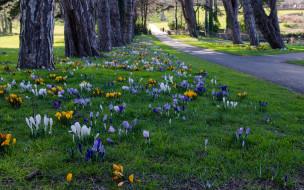 аллея, дорожка, крокусы, парк, деревья, Ирландия, цветы, Dublin, Cabinteely Park, трава
