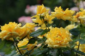 роза, бутон, лепестки, petals, leaves, rose, Bud, листья, blossoms, цветение