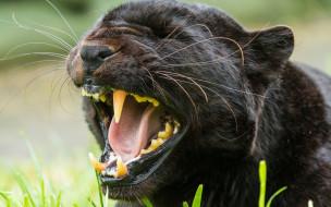 животные, пантеры, черный, цвет, морда