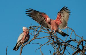 розовый ара