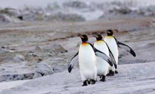 пингвины, королевские, трио, берег, камни