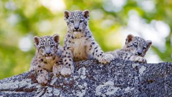 рисованное, животные, морда, троица, фон, детеныши, котята, милашки, боке, барсы, малыши, снежный, барс, дикие, кошки, зелень, лето, прогулка, зоопарк, камень, трио
