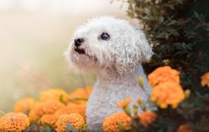 рисованное, животные, цветы, природа, пёс, собака, животное, бархотки, бархатцы