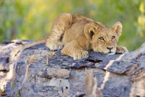 рисованное, животные, окаванго, лев, буш, ботсвана, африка