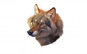 волк, морда, взгляд