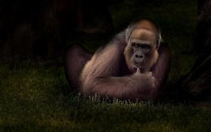 животное, Орангутанг, обезьяна