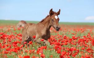 разное, компьютерный дизайн, коричневый, поле, маки, жеребенок, лето, небо, лошадь