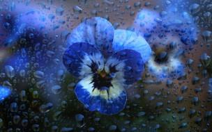 цветы, капли, голубые, вода, анютины глазки, стекло, фиалки, макро, виолы