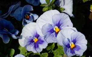 цветы, анютины глазки
