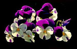 цветы, черный фон, анютины глазки