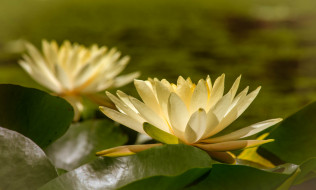 цветы, лилии водяные,  нимфеи,  кувшинки, природа, вода, цветение, кувшинка, листья