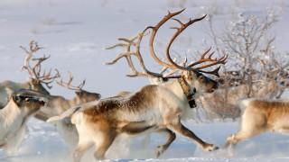 зима, снег, упряжка, северный олень