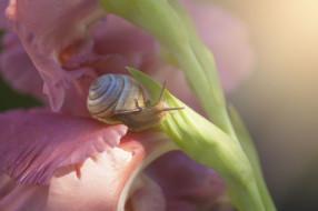 улитка, цветок, цветы, гладиолус, макро