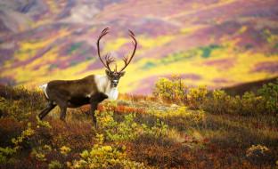 северный, олень, карибу, рога, луга, осень