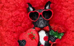 юмор и приколы, romantic, лепестки, love, dog, красные, розы, собака, petals, hearts, funny, valentine, rose