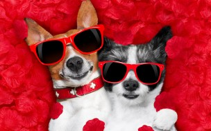 юмор и приколы, valentine, dog, rose, romantic, собака, petals, hearts, funny, лепестки, love