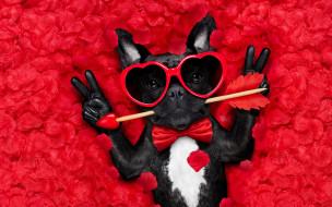юмор и приколы, rose, собака, petals, hearts, funny, valentine, romantic, лепестки, dog, love