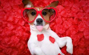юмор и приколы, собака, petals, hearts, funny, rose, dog, love, лепестки, romantic, valentine