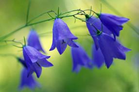 красота, колокольчики, июль, лес, лето, полевые цветы, природа, растения, синий цвет, флора, цветы