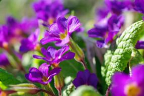 пробуждение, красота, макро, растения, фиолетовый цвет, флора, цветы, апрель, весна, дача, природа, первоцветы, примула