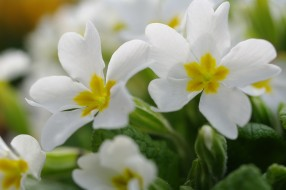 белый цвет, весна, первоцветы, примула, природа, пробуждение, дача, красота, май, макро, нежность, белоснежность, растения, флора, цветы