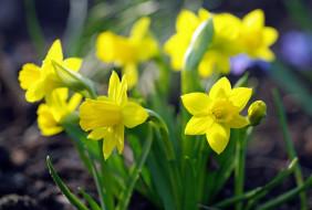 растения, природа, первоцветы, красота, дача, весна, флора, цветы, луковичные, май, нарциссы