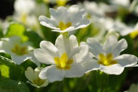 нежность, май, красота, цветы, флора, белоснежность, природа, примула, первоцветы, белый цвет, пробуждение, растения, весна, дача