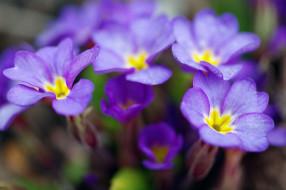пробуждение, растения, сиреневый цвет, апрель, весна, дача, красота, макро, примула, первоцветы, природа, флора, цветы
