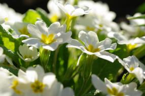 флора, растения, белоснежность, красота, дача, пробуждение, природа, нежность, май, первоцветы, примула, цветы, белый цвет, весна