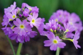 красота, примула, сиреневый цвет, флора, растения, дача, первоцветы, макро, май, весна, цветы, природа