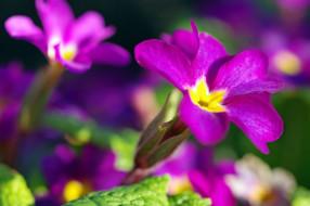 нежность, белый цвет, цветы, красота, дача, весна, май, флора, пробуждение, растения, природа, примула, белоснежность, первоцветы