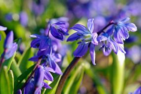 цветы, флора, синий цвет, растения, радость, пролески, природа, первоцветы, нежность, макро, красота, дача, весна, апрель