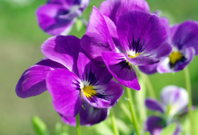 многолетники, макро, лето, флора, фиалки, растения, природа, цветы, цветок, красота, двулетники, дача, виола, анютины глазки