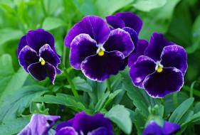 фиалки, растения, природа, цветы, цветок, флора, макро, лето, красота, двулетники, дача, многолетники, виола, анютины глазки