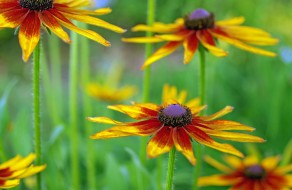 природа, август, макро, растения, рудбекия, флора, цветы, лето, красота, лепестки, дача