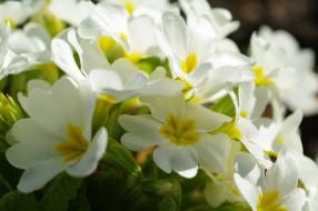 флора, цветы, апрель, примула, природа, пробуждение, растения, белоснежность, белый цвет, весна, дача, красота, первоцветы, нежность