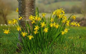 желтые, весна, трава, цветы, нарциссы